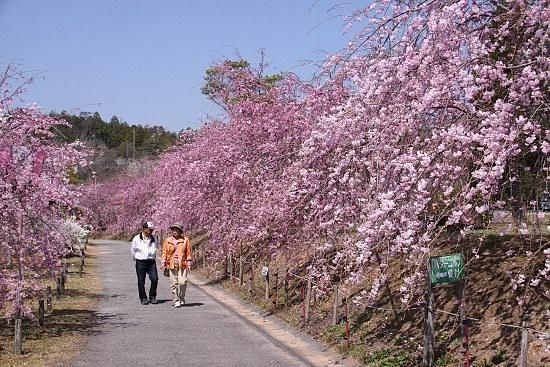 Plants And Flowers Kayama Place With Many Flowering Cherry Tree Type With The Cute And Beautiful Flower With Some Small And Big Cherry Trees In The Edge Of The