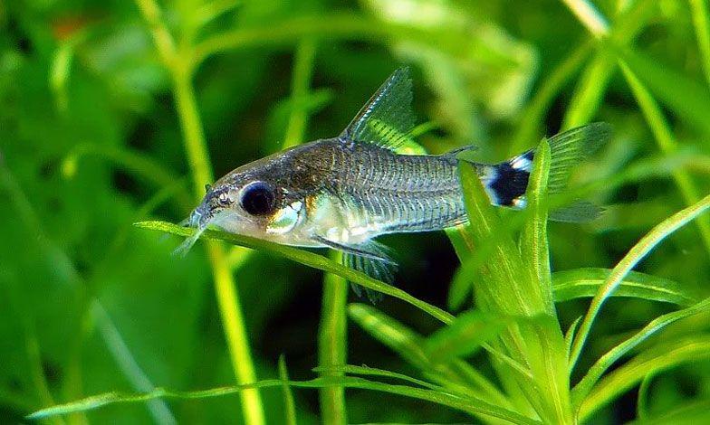 Image Result For Tail Spot Pygmy Cory Aquarium Fish Freshwater Fish Betta Fish