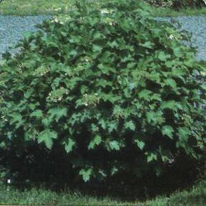 What is a dwarf viburnum?