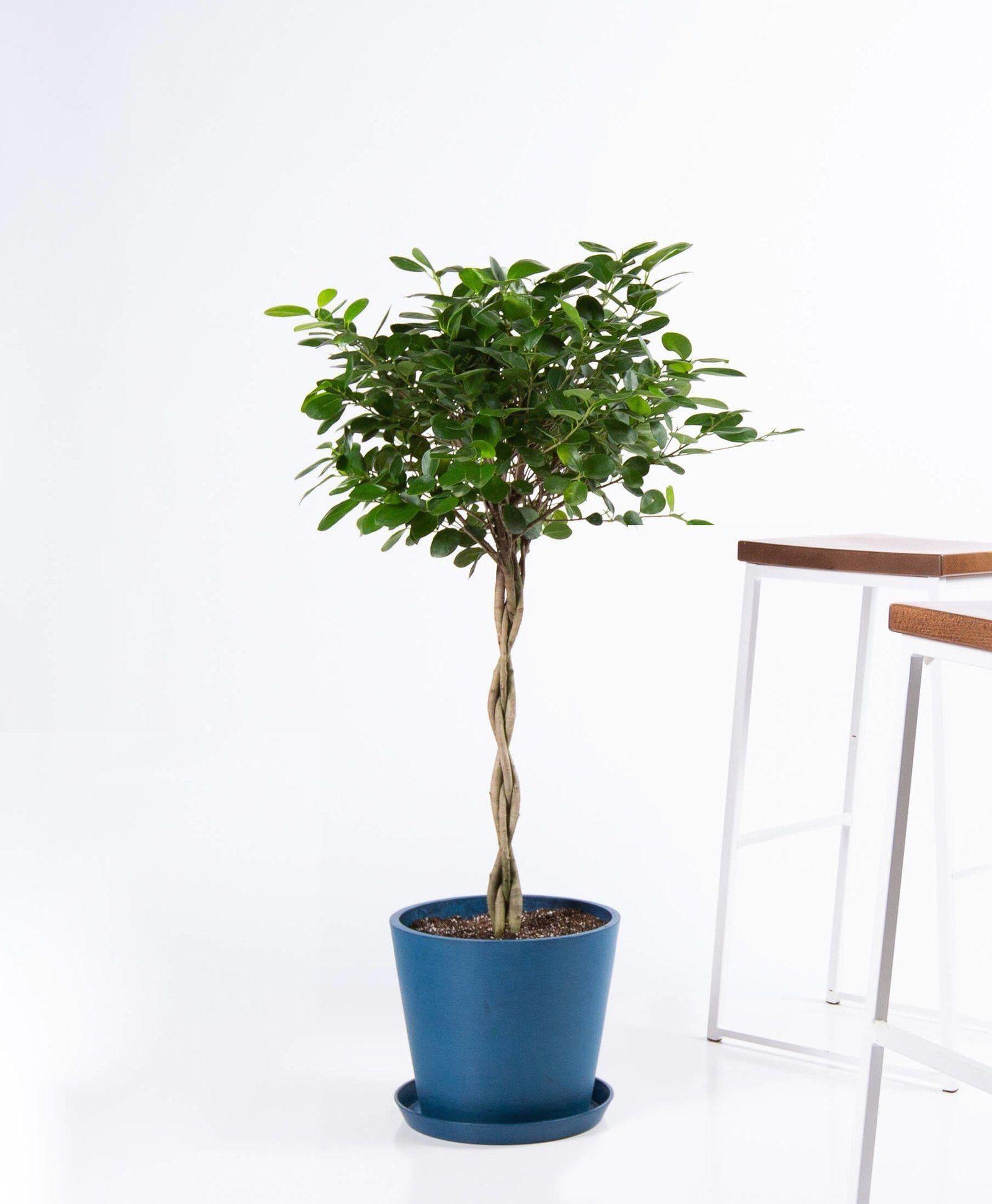 How Indoor Plants Can Inspire Good Feng Shui 1000 In 2020 Big Indoor Plants Bathroom Plants Indoor Plants