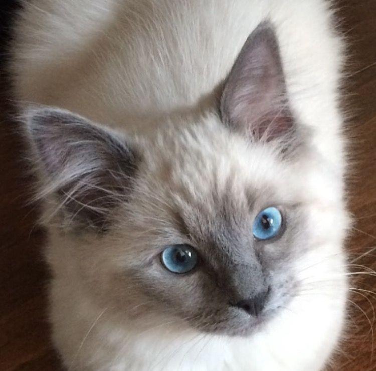 Kingston Ragdoll Of The Week Cute Cats Kittens Coloring Cat Pics