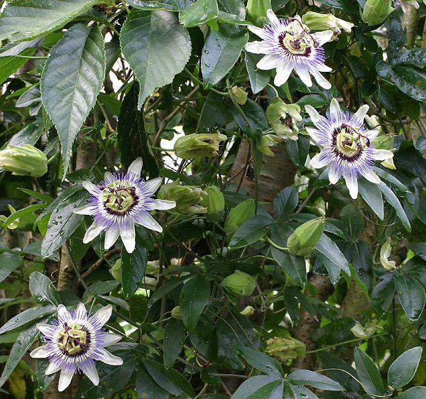 fence cover passion flower passiflora caerulea. Black Bedroom Furniture Sets. Home Design Ideas