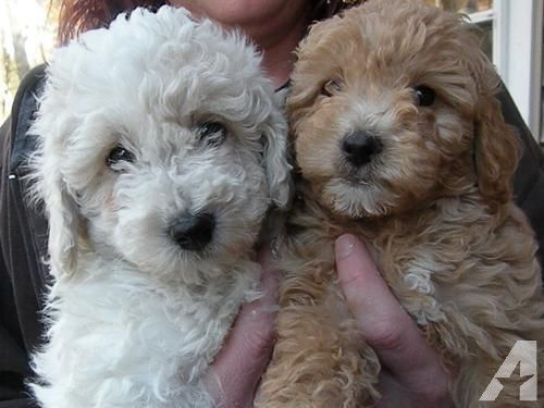 Cute Bichon Poo Puppies Aka Bich Poo Poochon Poochon Puppies Poochon Dog Puppies