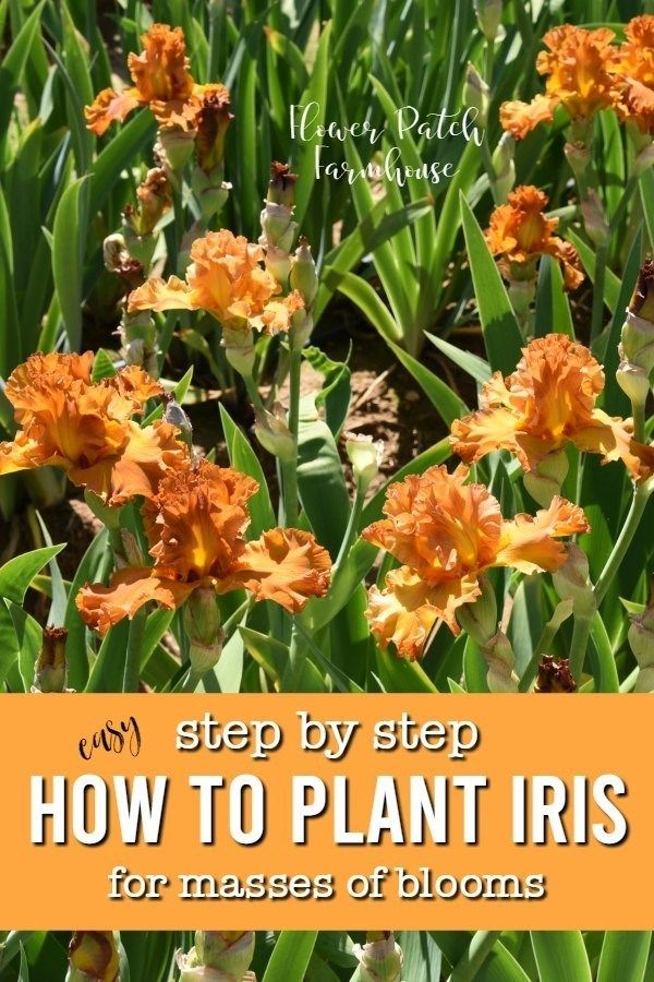 How to Plant Iris and Do it Right | Small flower gardens, Vegetable garden planner, Plants
