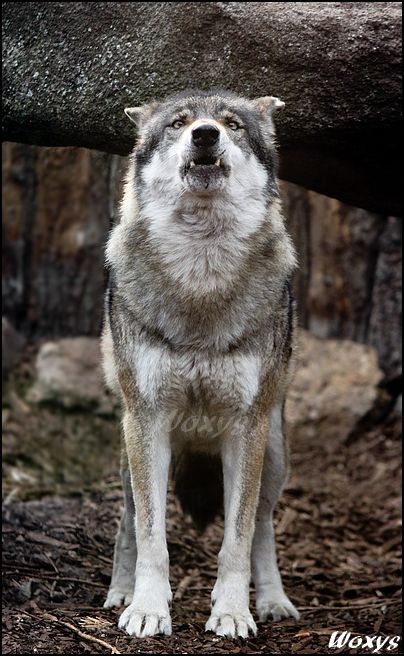 """w-o-l-f–g-i-r-l: """"  Howling Eurasian grey wolf (canis lupus lupus) from ZOO Ohrada, Hluboka nad Vltavou, Czech republic """""""