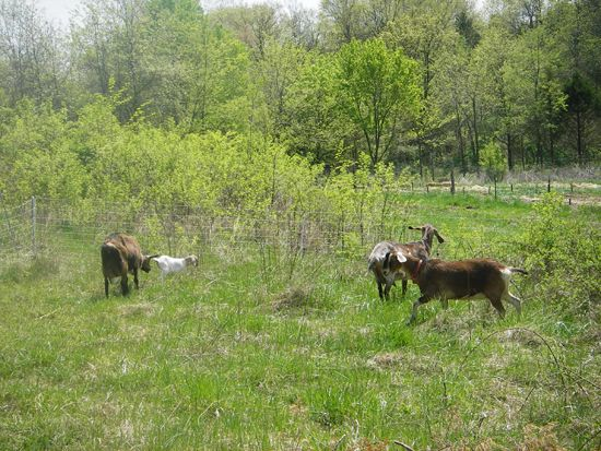 Keeping Dairy Goats on Rotational Pasture 24/7 to Reduce Internal Parasites. From MOTHER EARTH NEWS  Blog