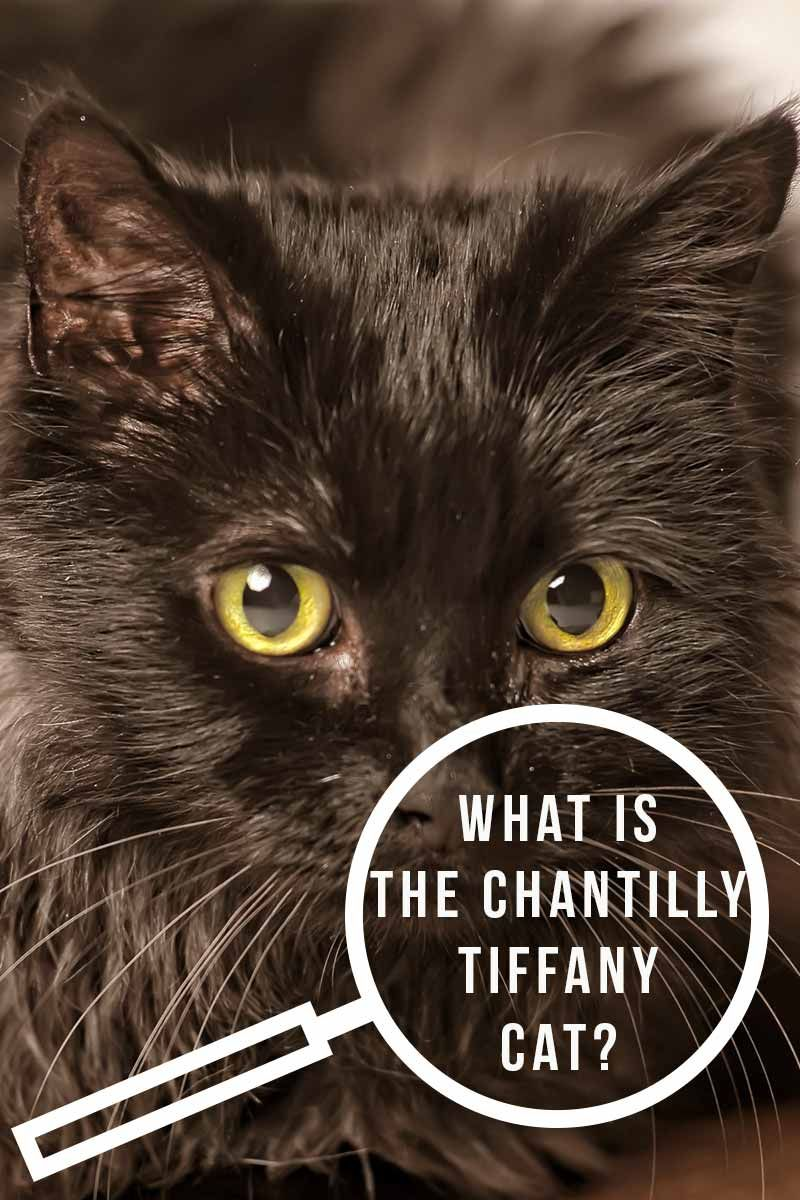 Chantilly Cat A Cautionary Cat Breed Tale Chantilly Cat Cat Breeds Cat Care