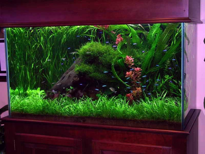 deko f r aquarium stein begruenung ueppig neon fische. Black Bedroom Furniture Sets. Home Design Ideas
