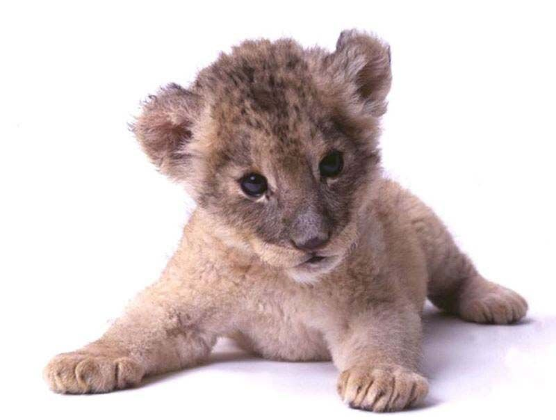 baby lion  Did you know a Baby Lion is called a Cub  Lion