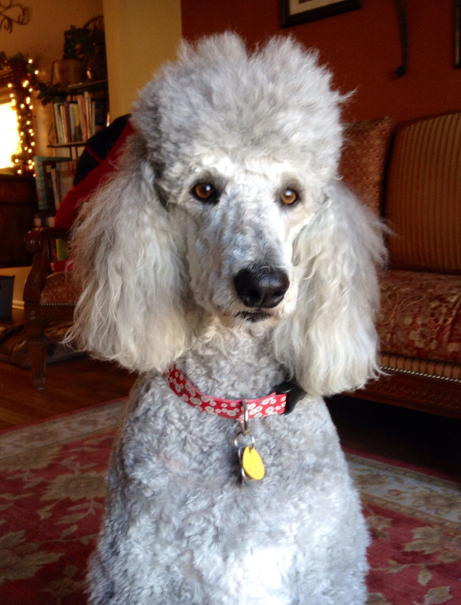 Pin By Kimberly Campoli On My Labradoodle Sophie Poodle Mix