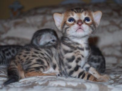 A Look From This Bengal Kitten I Fall Down Dead Killed With Cuteness Cute Animals Bengal Kitten