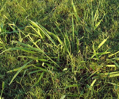 Neil My Lawn Is Being Overrun With Dallisgrass What Can I Do