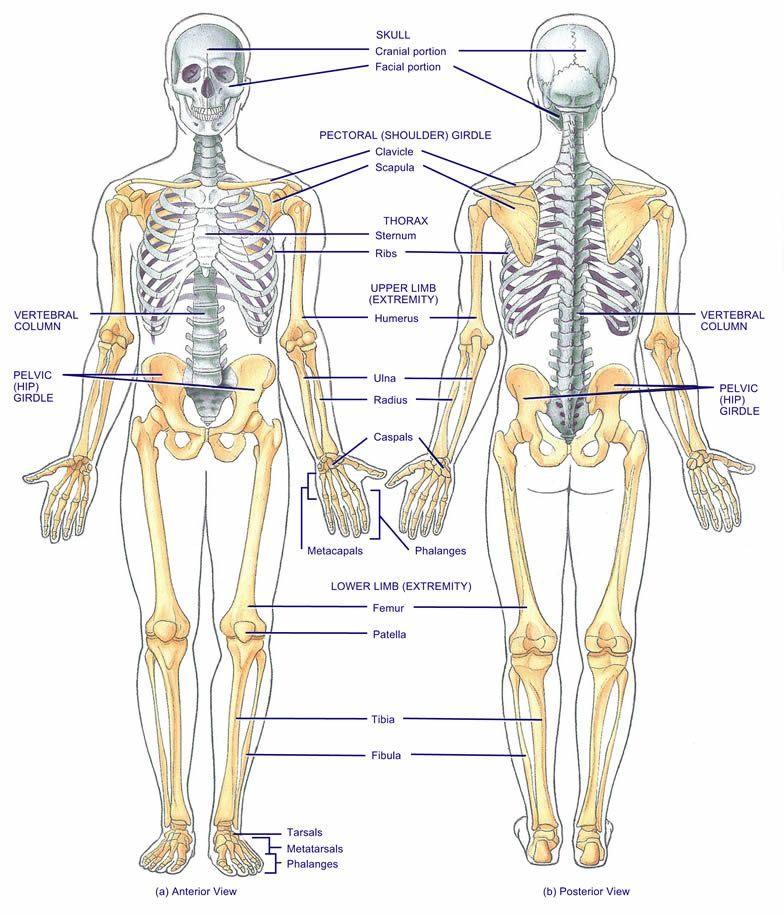 how a healthy musculoskeletal system works | anatomy & physiology, Muscles