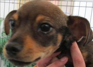 Toby Is An Adoptable Chihuahua Dog In Santa Rosa Ca Toby Is One