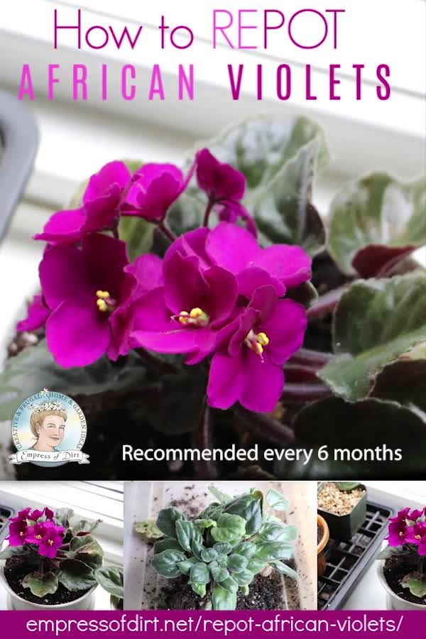 Find out how to care for your African violets including repotting them when they get too crowded in their pots.