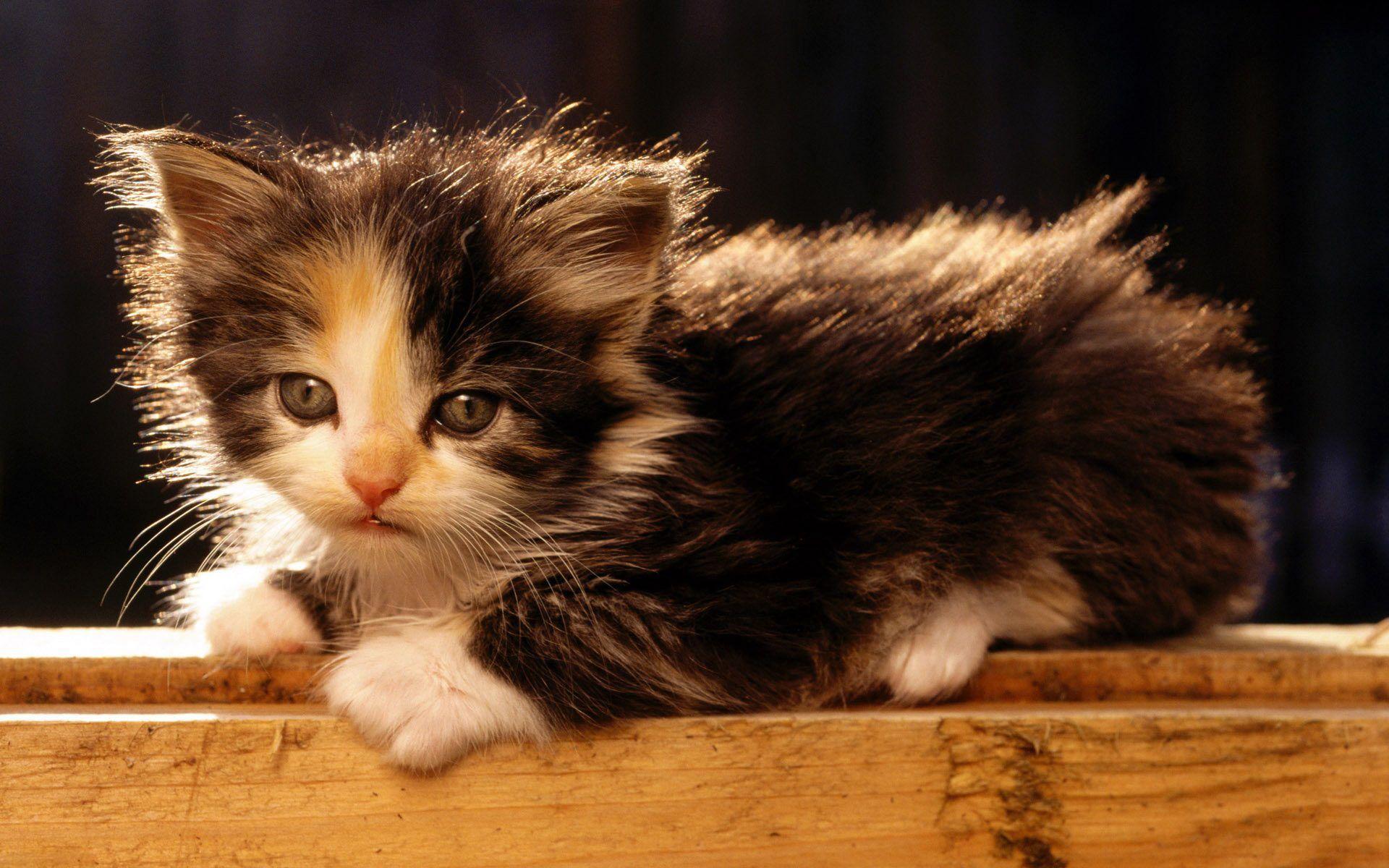 Desktop Wallpaper Animals American Bobtail Kitten