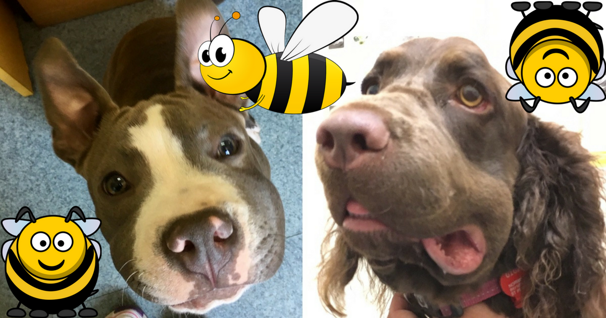 Help! A Bee Just Stung My Dog | For Gouda | Dog bee sting ...