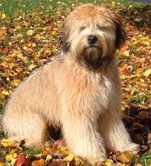 Medium Sized Dog Breeds Soft Coated Wheaten Terrier Beautiful