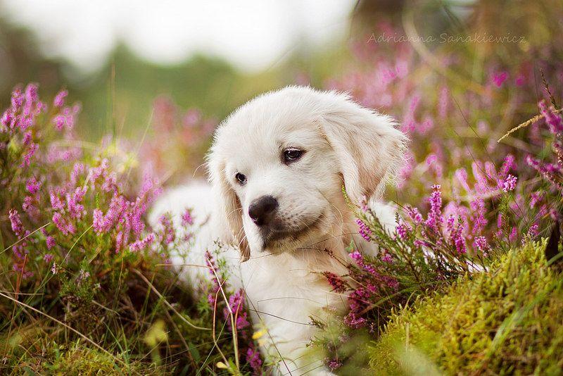 Img 8497 5 2 Golden Retriever Dogs Golden Retriever Labrador Cute golden retriever puppies wallpaper