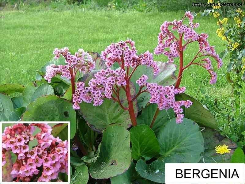 Kwiaty Wieloletnie Krzewy Ozdobne Byliny Wieloletnie Bergenia Garden Plants
