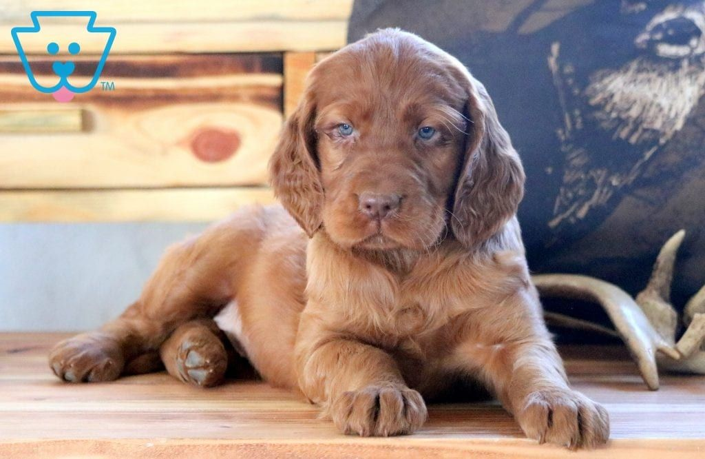 Cupcake Irish setter puppy, Setter puppies, Puppies for sale