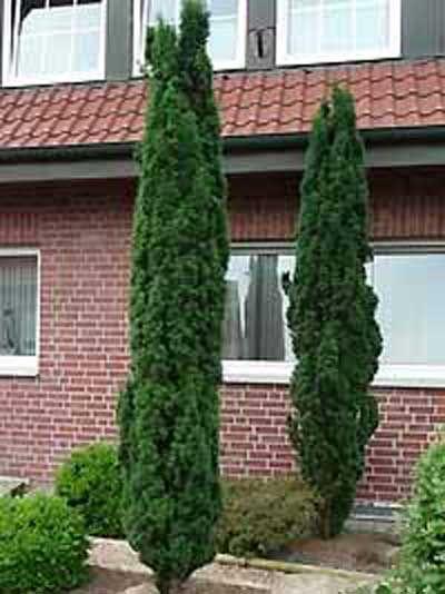 taxus baccata 39 fastigiata robusta 39 schmale s ulen eibe b ume trees pinterest eibe. Black Bedroom Furniture Sets. Home Design Ideas