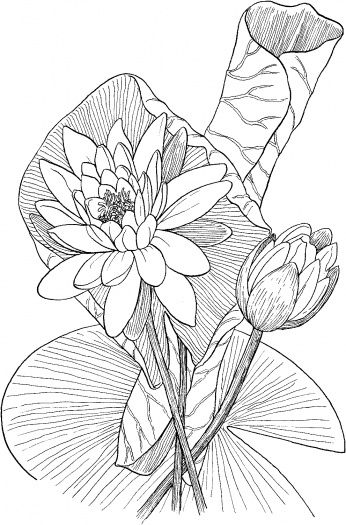 Coloriage Fleur De Nenuphar.Lotus Fleur Feuille Art Nenuphar Dessin Coloriage