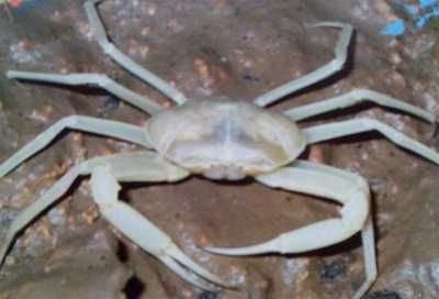 The Belize Land Crab has turned a ghostly white after adapting itself to the environment of the cave.    Read more: http://scienceray.com/biology/zoology/animals-with-no-eyes-cave-adaptation/#ixzz23IkjzSeF