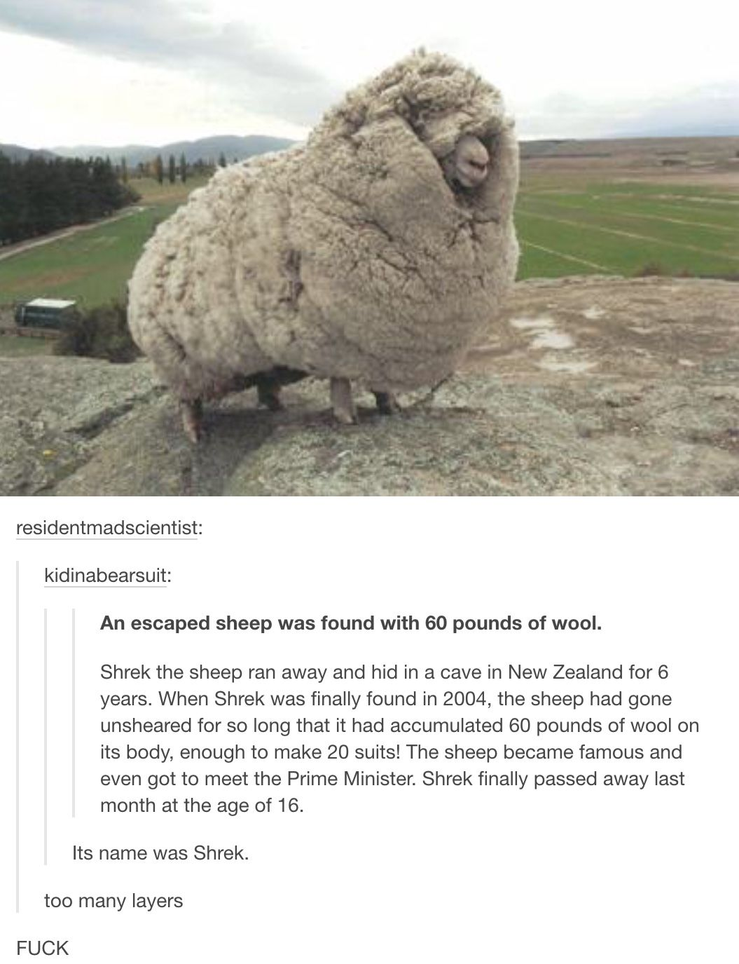 Sheep Laughing Meme - photo#6