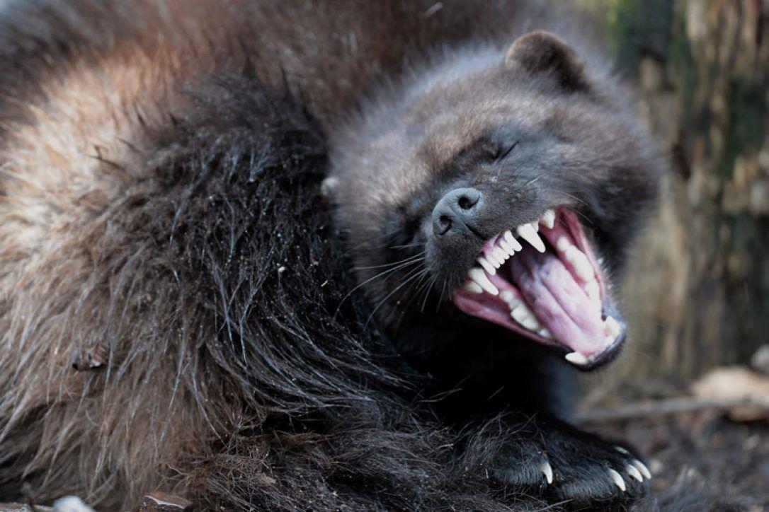 Pin by h. wu on wolverine Wolverine animal, Animals