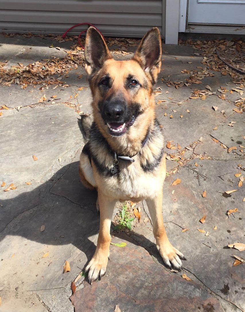 German Shepherd Dog Dog For Adoption In Baton Rouge La Adn