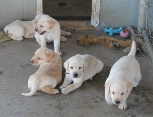 Akc Labrador Puppies Champion Bloodline Lab Puppies Labrador