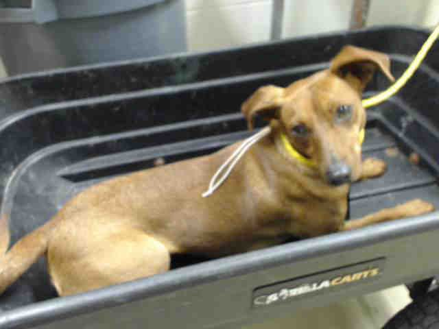 Houston This Dog Id A421058 I Am A Female Brown Dachshund Mix The Shelter Staff Think I Am About 2 Years Old I Have Brown Dachshund Animal Shelter Dogs