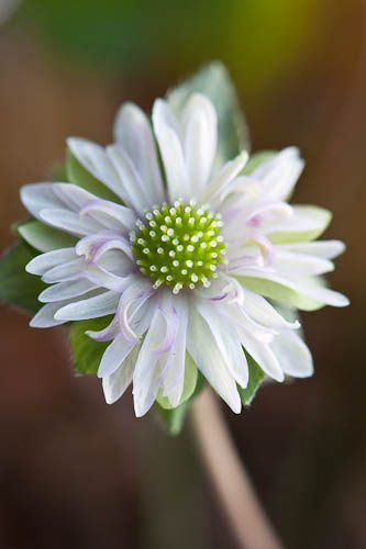 110130_004_Hepatica nobilis var. japonica 'Hanashiori'.jpg