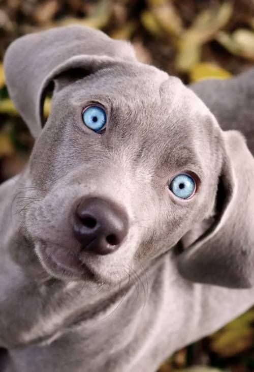 Pictures Of All Grey Dogs
