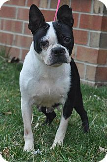 #DELAWARE ~ Talula is a 7y/o #adoptable Boston Terrier in #Newark. Sweet gal who came from a breeding farm. Despite living in a tiny cage having litter after litter of puppies to be sold- she holds no grudge. She loves atten & being near her person. She enjoys playing in her #foster's yard every chance she gets!! She's learning about the good life & needs a patient home willing to help her  learn basics like leash walking & potty training. DELAWARE ALLIANCE FOR ANIMAL WELFARE…
