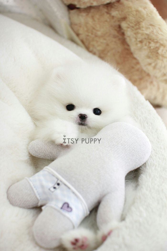 Pomeranian Bold And Inquisitive Puppies Teacup Puppies