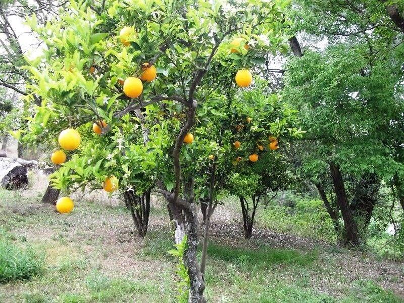 más de 25 ideas en tendencia sobre Árboles frutales interiores en