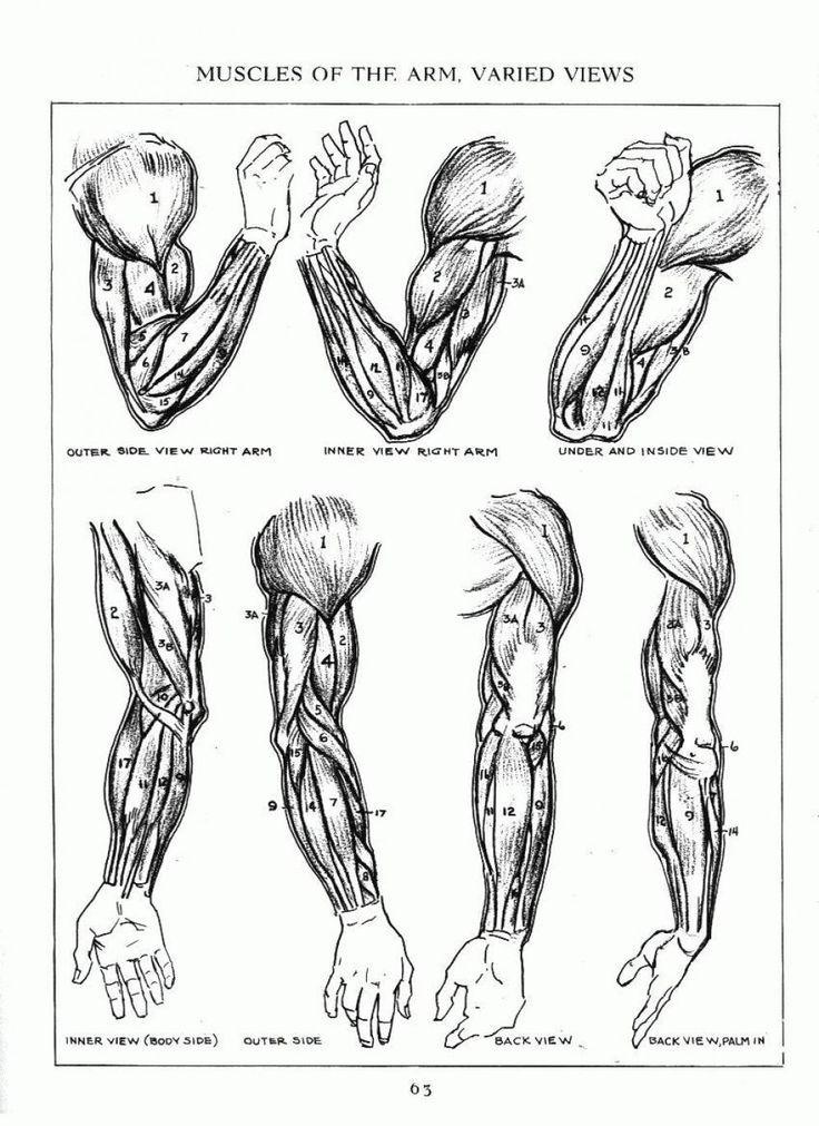 b70bcabad0fc741cb5be1190756b63da.jpg (736×1011) | Arm Anatomy ...