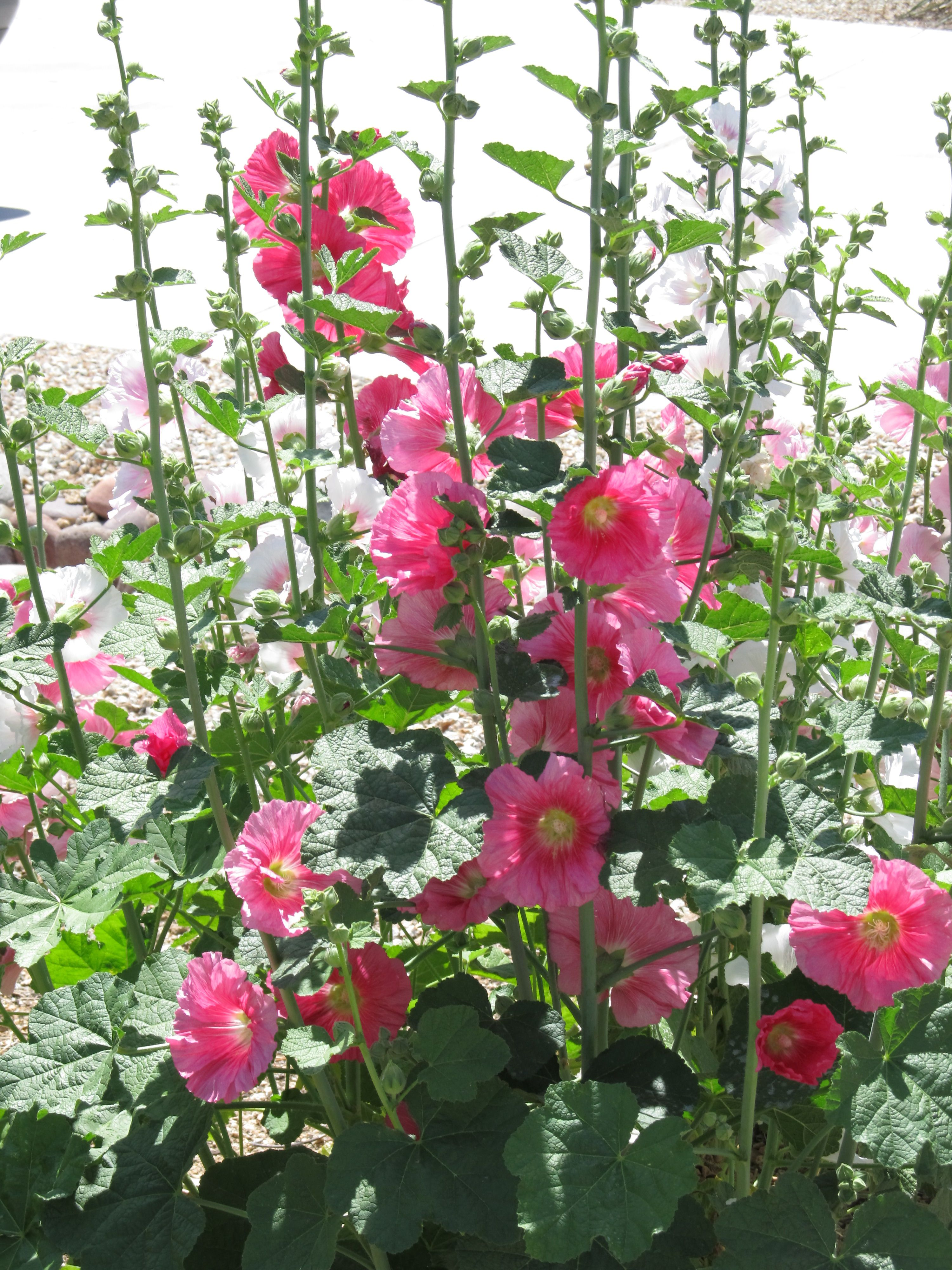 Hollyhocks remind me of my great grandmother 39 s front yard flower garden in summer yard - Flowers for the front yard ...