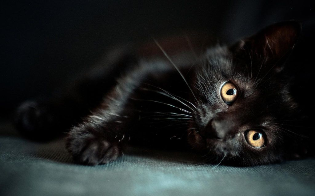 astonishing black cat home hd desktop wallpapers awesome