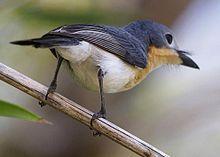 Broad-billed Flycatcher(Myiagra ruficollis)