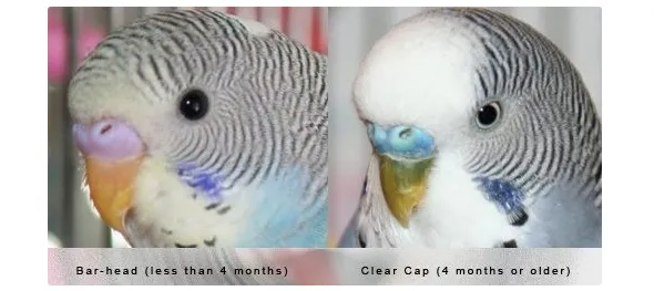 How To Know If It S Male Or Female Entertaiment Club Budgies Fancy Parakeet Pet Birds