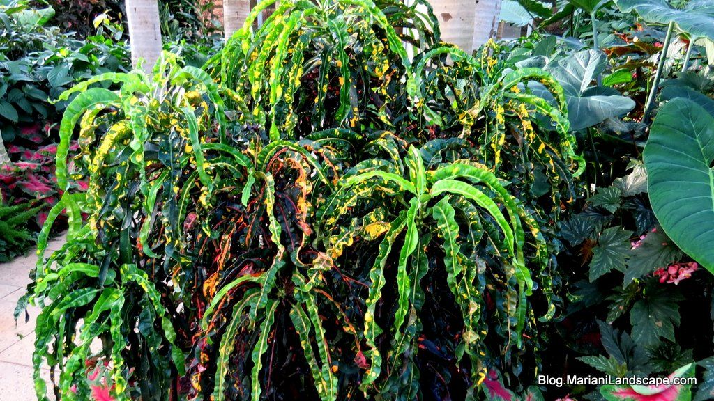 Croton Dreadlocks From House Plants At In The Garden 400 x 300