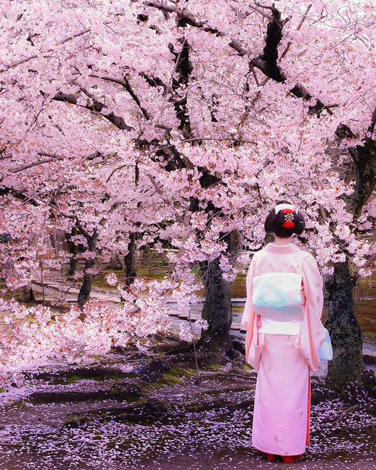 Kajuji Temple Kyoto Japan Sprig Sakura Cherry Blossom Flower Japan Sakura Japan Spring Japan Photography