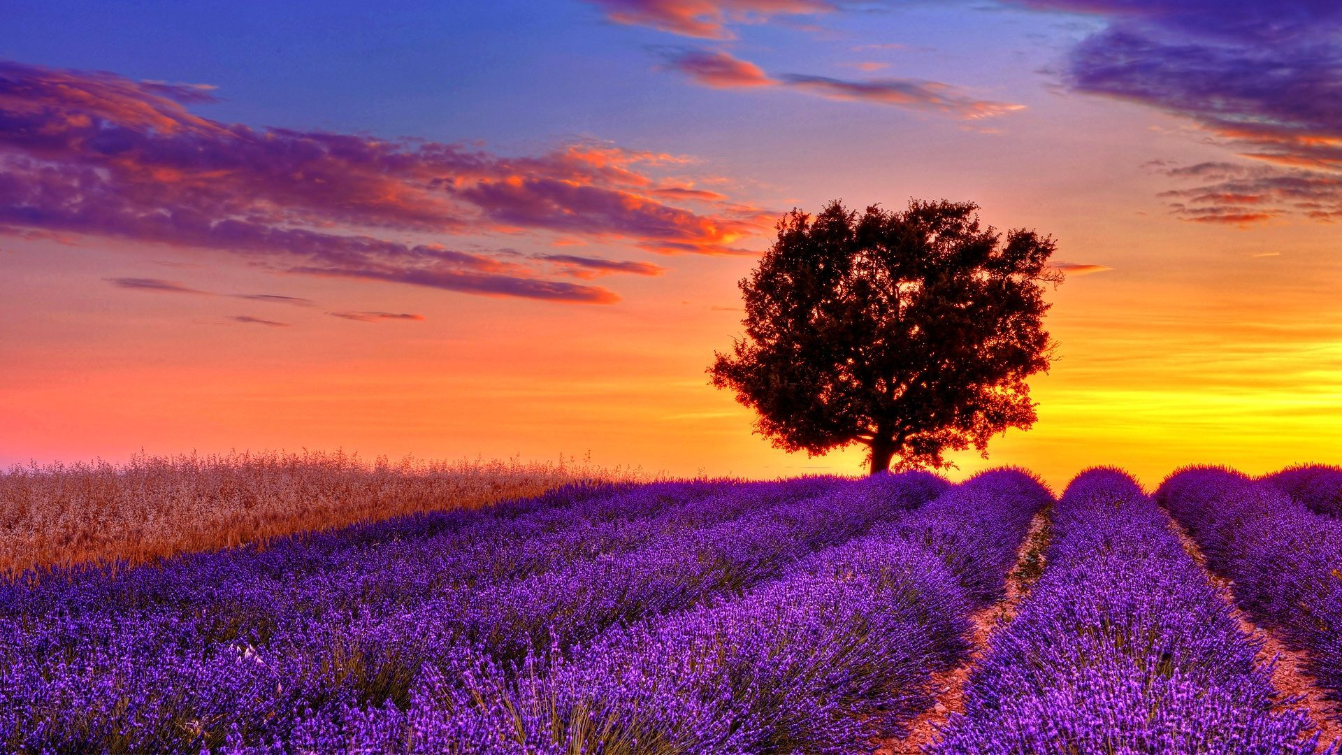 lavender flower field sunset high resolution wallpaper for