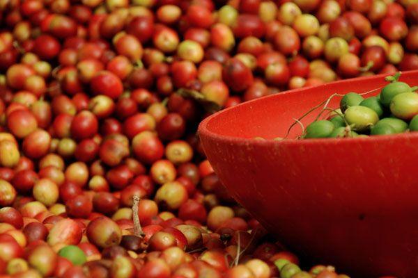 Café cereza clasificación