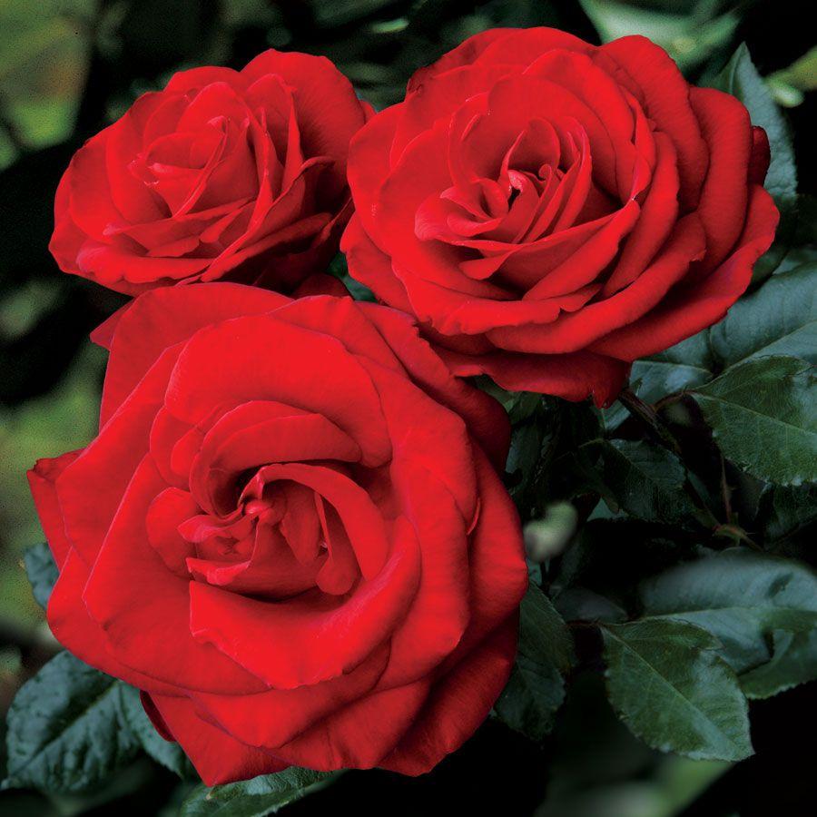 Always and Forever™ Hybrid Tea Rose for Natalie Family Roses