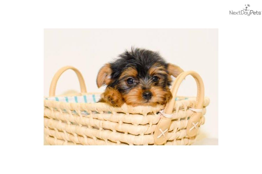 Yorkiepoo - Yorkie Poo puppy for sale near Columbus, Ohio