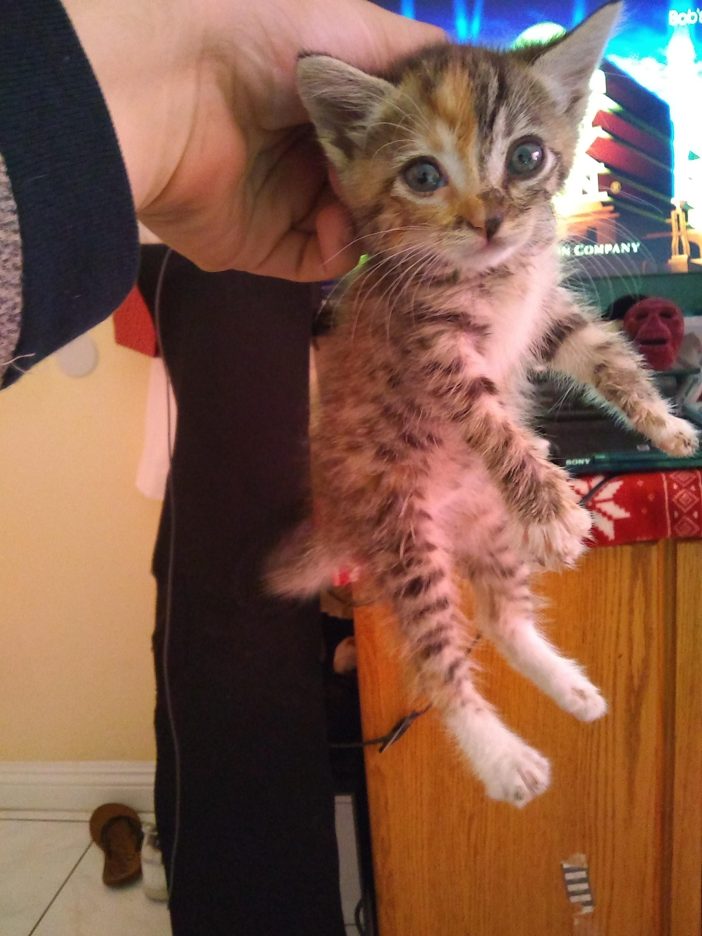 Could Anybody Help Me Identify The Breed Of My Kitten Kitten Cats Breeds